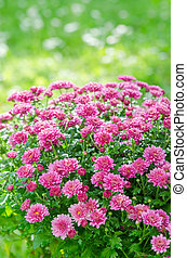 beau, rose, jardin, chrysanthème, buisson, fleurir