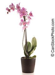 beau, rose, pot fleurs, orchidée