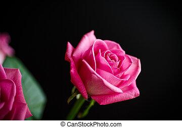 beau, rose,  rose