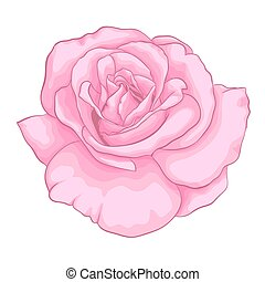 beau, rose rose, isolé, arrière-plan., blanc