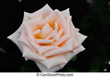 beau, rose rose, sur, a, arrière-plan noir