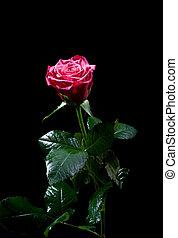 beau, rose rouge, sur, noir
