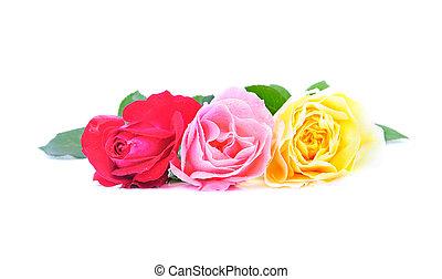 beau, rose, trois, isolé, eau, roses, fond, blanc, gouttes