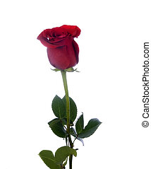 beau, rose, unique, rouges