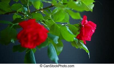 beau, roses, arrière-plan noir, fleurir, rouges