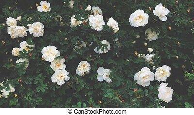 beau, roses, blanc, rosier