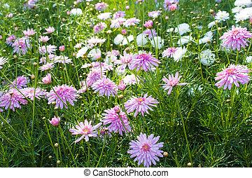 beau, scabioza, fleurs, jardin