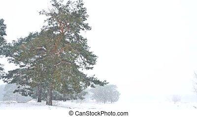 beau, soir, hiver, tempête neige, nature, arbre, chute neige, tard, noël, paysage