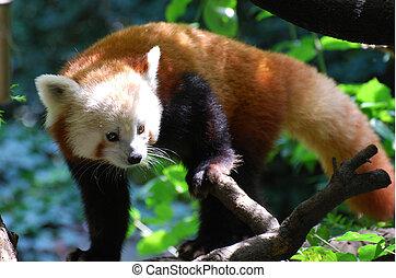beau, sommets, arbre, ours, panda, rouges