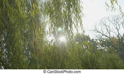 beau, soufflé, saule, parc, feuilles, ensoleillé, arbre, vert, jour, vent