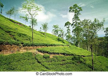 beau, thé, paysage, plantation