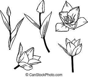 beau, tulipe, fleur, ensemble, contour