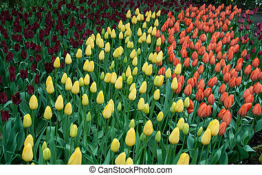 beau, tulipe, jardin, printemps