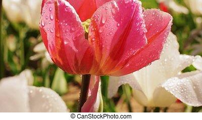 beau, tulipe, mouillé, jardin, fleurs