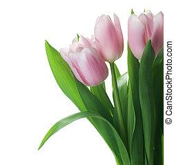 beau, tulipes, blanc, frontière, isolé