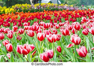 beau, tulipes, fleurs, champ