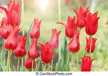 beau, tulipes, parterre fleurs, rouges, croissant