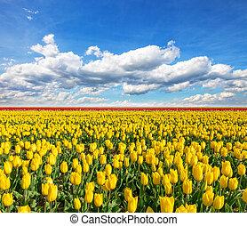 beau, tulipes, pays-bas, champ