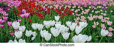 beau, tulips., coloré, bouquet, printemps, tulip., tulipes