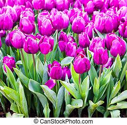 beau, tulips., coloré, printemps, flowers., fond