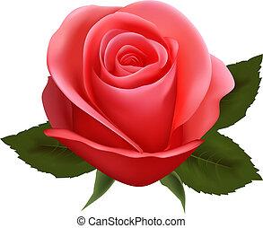 beau, vecteur, rose., illustration.