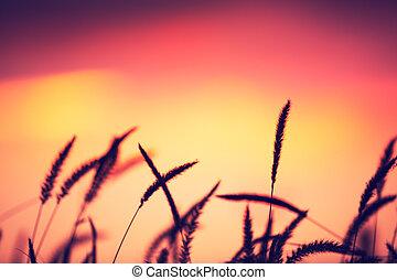 beau, vibrant, champ coucher soleil, couleur