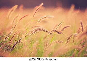 beau,  vibrant, Coucher soleil, champ, couleur