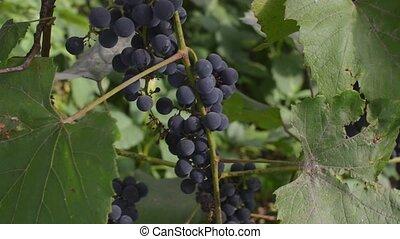 beau, vignoble, season., mûre, automne, automne, coucher soleil, raisins, harvest.