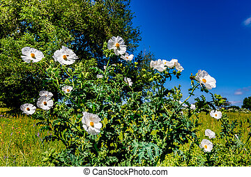 beau, voler, wildflowers, abeille, épineux, pavot, blanc, texas