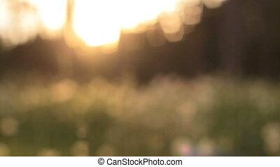 beau, vue, pré, lumière soleil, pissenlit