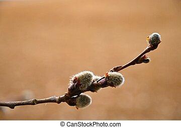 beau, willow., springtime., symbole, fleurir, arbre, salix,...