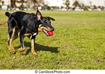 Beauceron / Australian Shepherd Dog with Toy at the Park - A...