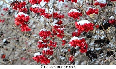 beaucoup, baies, neige, viburnum