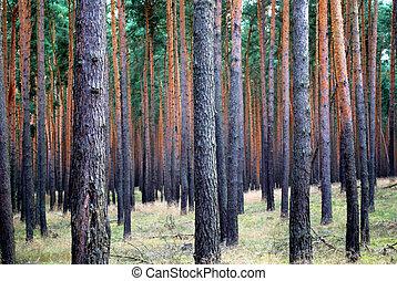 beaucoup, bois pin, arbres, modèle, parallèle