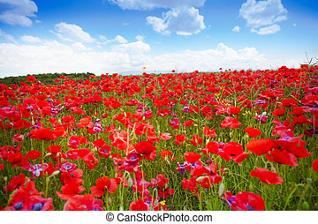 beaucoup, coquelicots, champ