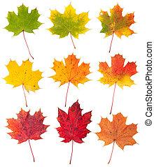 beaucoup, feuilles, isolé, automne, fond, blanc, érable