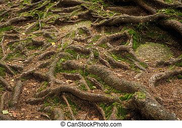 beaucoup, forêt arbre, racines
