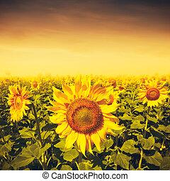 beauté, coucher soleil, sur, tournesols, champ, ambiant, arrière-plans