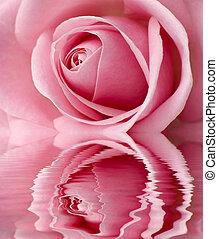 rose - beautifful pink rose center close up shoot