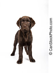 Beautiful 3 month Labrador dog looking towards camera on white background Vertical image.
