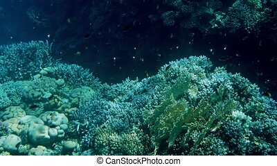 Beautiful 4k footage of lots of fishes swimming around coral...