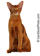 Beautiful Abyssinian cat sorrel color. White background.