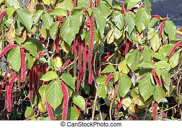 Beautiful Acalypha Pendula or Firetail Plant