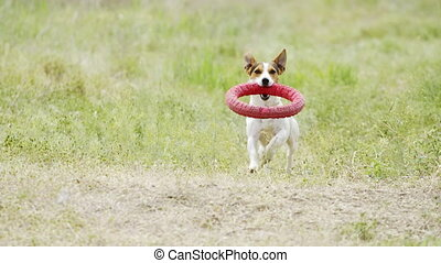Beautiful active dog of Jack Russell Terrier breed runs on...