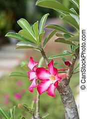 Beautiful Adenium or desert rose flowes in green garden