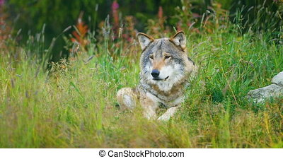 Beautiful adult male grey wolf rests in the grass - Adult...