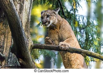 Mountain Lion - Beautiful Adult Mountain Lion close-up ...