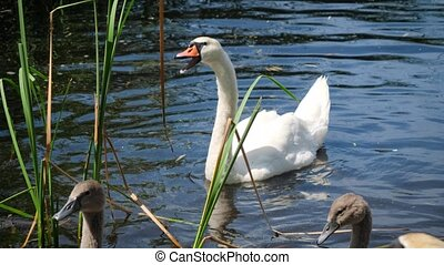Beautiful adult white mute swan eating grass or reed leaves in lake.
