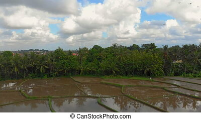 Beautiful aerial panorama of rice filed covered with water and surrounded by palm trees. Travel to Bali concept