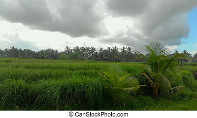Beautiful aerial shot of a green rice field surrounded with palm trees